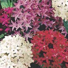 Pentas Star Cluster (Pentas lanceolata)   My Garden Life