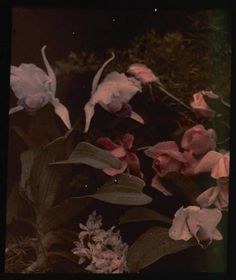 Pink Lillies, Autochrome, 1915, C.E. Wheelock (Charles C. Zoller)