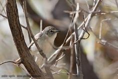 mis fotos de aves: Vireo Plomizo [Vireo plumbeus] Plumbeous Vireo