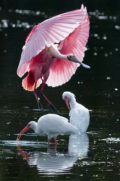 Roseate Spoonbill  Landing.  Fantastic shot- he looks like an umbrella.