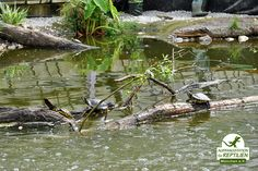 Due to the enormous amount of Northamerican turtles, which we are faced with every day, we had to build a special facility...