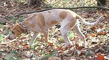 English Coonhound - A.k.a. American English Coonhound, Redtick Coonhound - United States - Hunting