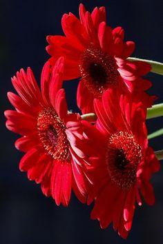 gerbera daisies                                                       …