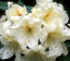 The purpose of the Society is to encourage interest in and to disseminate knowledge about rhododendrons and azaleas.