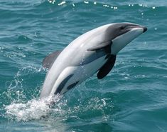Hector's dolphin (Cephalorhynchus hectori) is one of the smallest cetaceans and New Zealand's only endemic cetacean. Hector's dolphins are believed to be generalist feeders, with prey selection based on size rather than species.Their natural predators are sharks and orca. Anyway, the worst and deadly danger for Hector's dolphins are the bottom-set gillnets