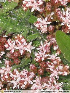 Sedum anglicum - Flor (close-up) | João D. Almeida; CC BY-NC 4.0