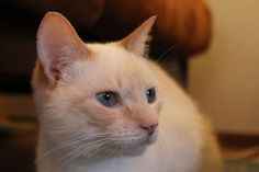 MoMo is awaiting adoption at the Siamese Cat Rescue Center (SCRC).  MoMo is an adult Flame Point Siamese Cat.  More info is available at the SCRC website. (see SCRC's website url below)