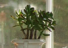 Crassula (Crassula ovata) : arrosage, entretien Crassula Ovata, Plante Crassula, Metabolism, Plants, Life, White Flowers, Lawn And Garden, Interview, Plant