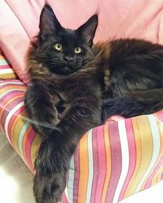 Maine Coon Cat Gallery - Cat's Nine Lives Chat Maine Coon, Maine Coon Kittens, Siamese Cats, I Love Cats, Cool Cats, Crazy Cats, Cat Toilet Training, F2 Savannah Cat, Norwegian Forest Cat
