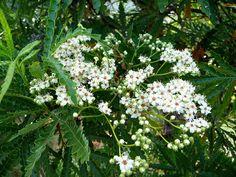 Catalina Ironwood (Lyonothamnus floribundus ssp. asplenifolius) foliage & flower