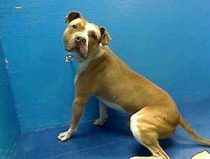 TO BE DESTROYED - 12/13/13 Brooklyn Center  My name is KANE. My Animal ID # is A0986939. I am a male tan and white pit bull mix. The shelter thinks I am about 2 YEARS   I came in the shelter as a STRAY on 12/08/2013 from NY 11216, owner surrender reason stated was ABANDON.  https://www.facebook.com/photo.php?fbid=721906294488919&set=a.611290788883804.1073741851.152876678058553&type=3&theater