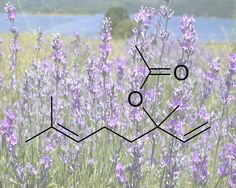 Love using Lavender? Love science? Then you'll want to read our post about Lavender!