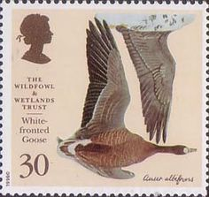 White Fronted Goose - Bird Illustration By Charles Tunnicliffe on 1996 GB Stamp Royal Mail Stamps, Uk Stamps, Postage Stamp Art, Nature Artists, Art Folder, Amsterdam, Kingdom Of Great Britain, Wild Creatures, Bird Illustration
