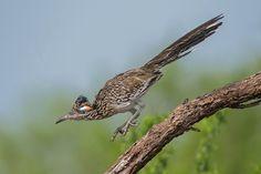 http://www.audubonmagazine.org/multimedia/2013-photo-awards-top-100   greater roadrunner
