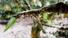 A flor do cacau tem 5 pétalas e é polinizada por pequenos insetos, ao longo de todo o ano. Entre a polinização e amadurecimento do fruto decorrem cerca de 180 dias.  Fazenda Avila - Ilhéus BA
