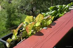 How to grow your own salat and spinach. Small space gardening. Grow something green. Urban gardening. Plukksalat og spinat i balkonglasse. Kortreist mat. Balkonghage.