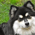 Finnish Lapphund hd photos