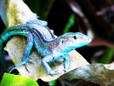 Cute lizard in Colombia. Lizards are reptils with a very interesting ability: Some of them can detach their tails in case of being caught by an enemy. #travelandmakeadifference #blue #lizard #animal #fauna #wildlife #nature #colombia