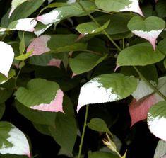 Kiinanlaikkuköynnös Näyttävä valkokirjava lehdistö, kesän mittaan valkea väri punertuu kauniisti. Plant Leaves, Plants, Planters, Plant, Planting