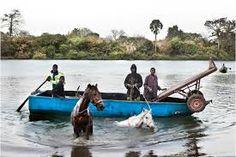 Guiding horses across the river.