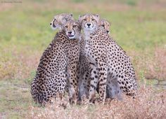 Photograph Cheetah Family by Hendri Venter on 500px