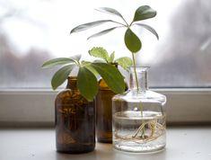 Vi viser deg hvordan du kan sette stiklinger i vann for å få nye planter.