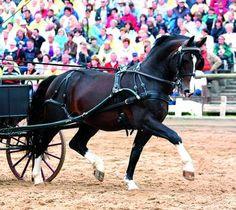 Saxony-Thuringian Heavy Warmblood stallion Lord Udo