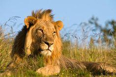 Stalking the African lion: Binder Park Zoo seeks funding for lion exhibit - Battle Creek Enquirer World Lion Day, Mountain Zebra, Lion Photography, Tanzania Safari, Male Lion, African Safari, African Animals, Safari Animals, Paintings
