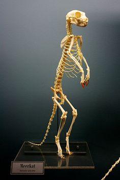 Meerkat skeleton on display at the Osteology Museum of Oklahoma. Animal Skeletons, Animal Skulls, Skeleton Bones, Skull And Bones, Little Dogs, Ecuador Travel, Kenya Travel, Bare Bone, Animal Anatomy
