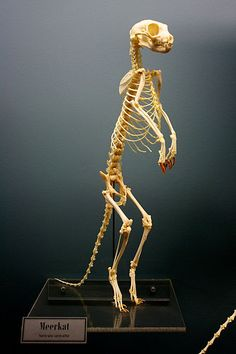 Meerkat skeleton on display at the Osteology Museum of Oklahoma.