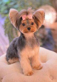 -Repinned-Yorkie hairstyle
