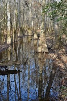 Congaree National Park, SC - Picture of Congaree National Park, Hopkins - Tripadvisor Temperate Deciduous Forest, Congaree National Park, Growing Tree, South Carolina, Wilderness, Acre, Trip Advisor, National Parks, United States