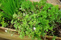 Keep your herb garden green and happy all winter long, with 3 great winter herb gardening tips. Micro Garden, Herb Garden, Green Garden, Indoor Garden, Organic Gardening, Gardening Tips, Vegetable Gardening, One Green Planet, Perennial Vegetables