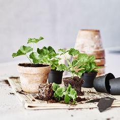 Saintpaulia, Gardening Tips, Urban Gardening, Fungi, Hygge, Flora, Planter Pots, Plants, Zero Waste