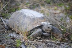 Gopher Tortoise, Ft. Myers Beach, FL