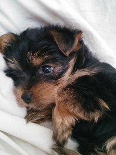 Puppies And Kitties, Yorkie Puppy, Teacup Puppies, Baby Puppies, Baby Dogs, Cute Puppies, Cute Dogs, Doggies, Baby Animals