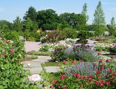 Groundcovers Make the Rose Garden