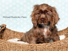 A Cocker Spaniel brings home a life full of kisses, wagging tails, and wet noses. That's why puppies make the perfect companions. Find your perfect match at Petland Pembroke Pines.