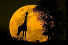 """These four images are from the composite series """" Wildlife & The Moon"""" by Mario Moreno. Girrafe, bear, orangutans, and the lynx are captured against full moon. Moon Photos, Moon Pictures, Moon Pics, Moon Photography, Amazing Photography, Giraffe Silhouette, Moon Silhouette, Beautiful Moon, Stars And Moon"""