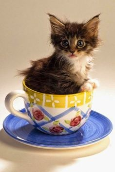 Top 5 Most Adorable Teacup Cats soooooo cute🐈😻 Kittens And Puppies, Cute Cats And Kittens, I Love Cats, Crazy Cats, Kittens Cutest, Cute Puppies, Pretty Cats, Beautiful Cats, Animals Beautiful