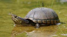 Lecția extrasă din această poveste cu tâlc este că, adeseori, suntem atât de ușor de seduși de o avansare, faimă și bani încât ne scoatem l... Types Of Turtles, Small Turtles, Turtle Care, Pet Turtle, Musk Turtle, Turtle Facts, Tortoise Habitat, Nano Tank, Tortoise Turtle