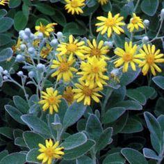 Senecio greyi • Ragwort • Cactus/Succulents • hardy to 10 degrees, full sun, bright yellow flowers bloom late summer through mid fall, drought tolerant, likes good drainage