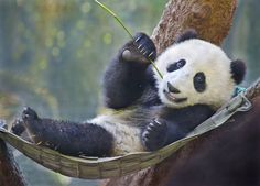 Lounging | Panda cub Xiao Liwu relaxes in his hammock after … | Flickr - Photo Sharing!