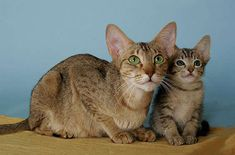 The Kanaani cat is agile, playful, and athletic, as well as highly intelligent and affectionate.