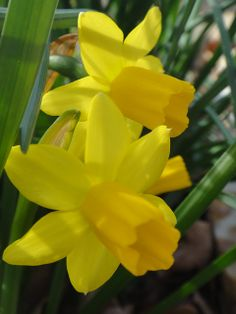 To me, Spring means blooming hyachinths, happy daffodils, jonquils, robins and chipmunks in the yard!