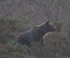 Asturias: Vertido en Íbias Degaña, en plena zona para la observación de osos