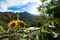 Sunflowers in the Andes Mountains in a Remote Area Miles Outside of San Jose De Maipo, Chile