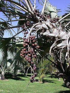 Hyphaene Coriacea/ Natalensis           Ilala palm         Lalapalm               5-15 m     SA no 23         Palmpedia - Palm Grower's Guide