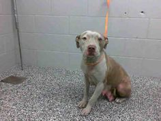 POOR MAMA DOG in KILL SHELTER KAMEA - ID #A459315 (MUST EXIT ON 1/21)  Rescue only ~ I'm horrified at her condition! Her hold appears that she was confiscated. I am a female, brown and white Pit Bull Terrier mix. Shelter staff think I am about 2 years old and my puppies are about 7 weeks old. At the shelter since Jan 05, 2014. https://www.facebook.com/photo.php?fbid=10200821639017179&set=a.4148380881719.128766.1649756531&type=3&theater