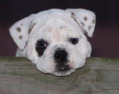 Salliemaye the Bulldog
